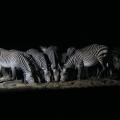 Zebras at WateringHole