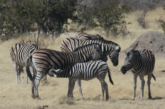Zebras Nursing